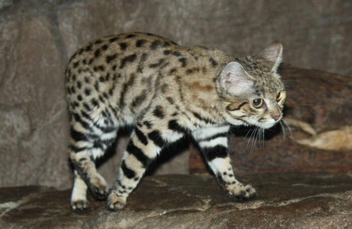 Get acquainted with South Africa's elusive kitty