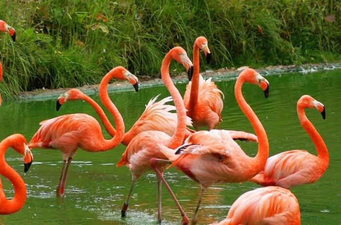 Inagua Flamingos