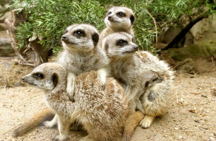 Meerkat Magic Tour