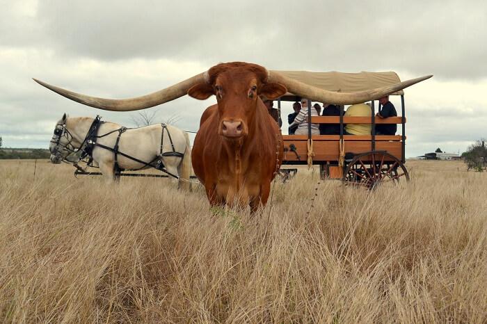 Meet The Bull With The Longest Horn