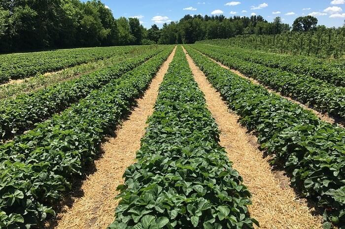 Redberry Farm Tea Plant