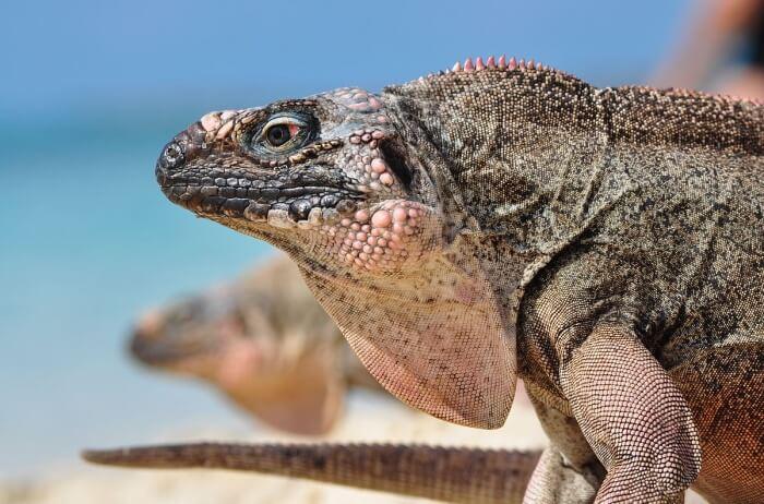 Sandy Cay Iguanas