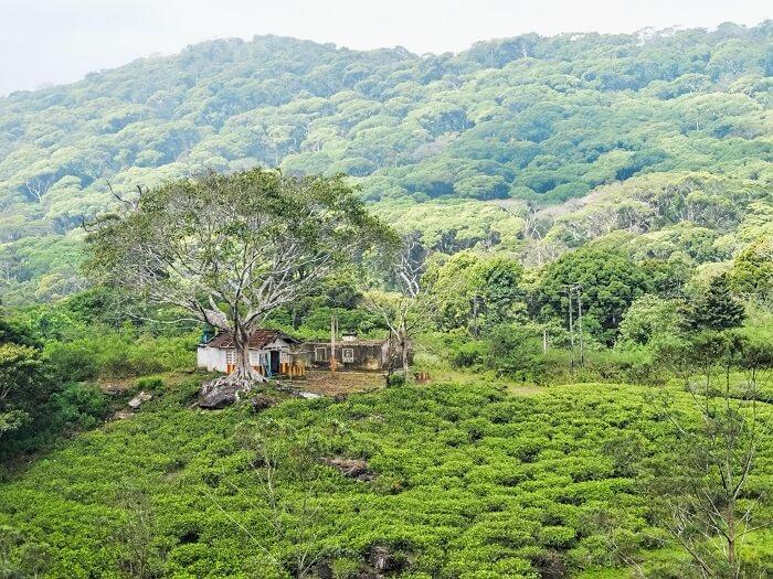 greenery in sinharaja