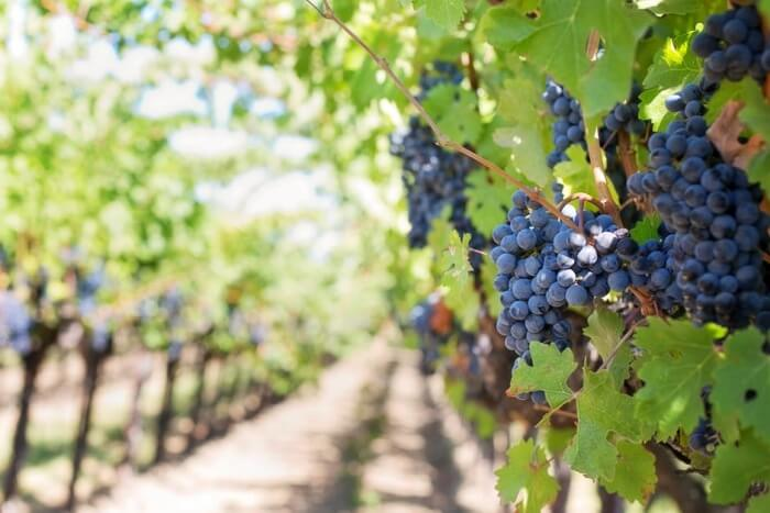 Spier Vineyard