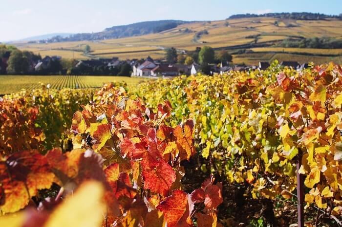 vineyard paris