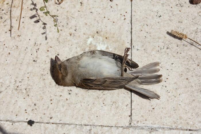 Dead bird in Jatinga