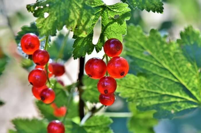 Blue-Hills-Berries-Cherries