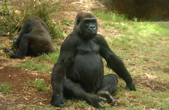 Gorillas view