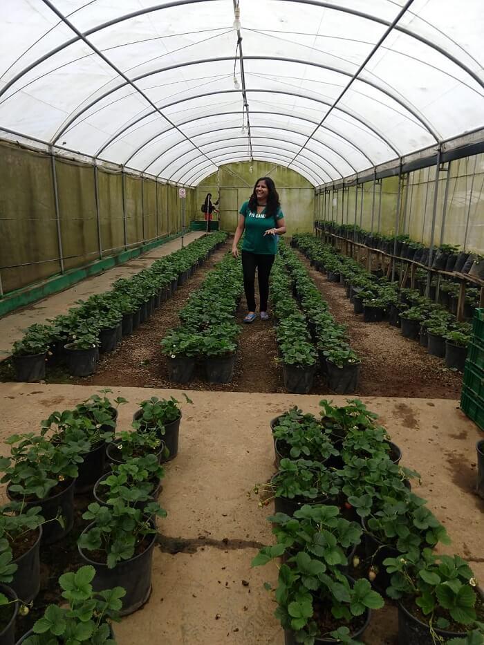 inside the tea plantation