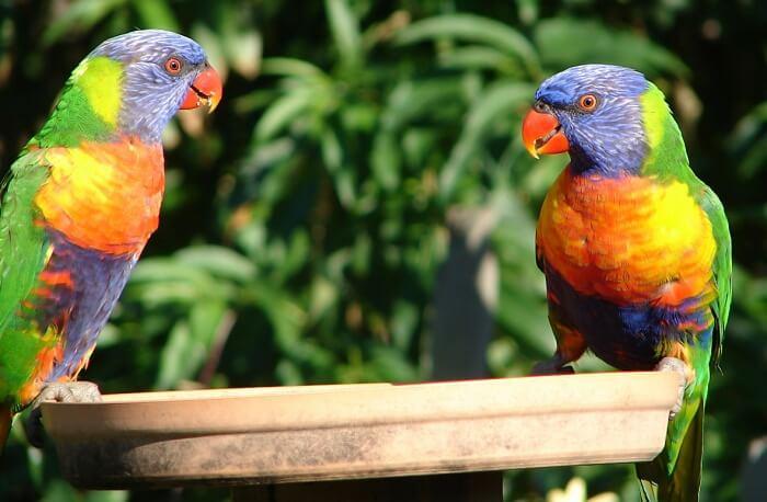 Queensland Feed Lorikeets