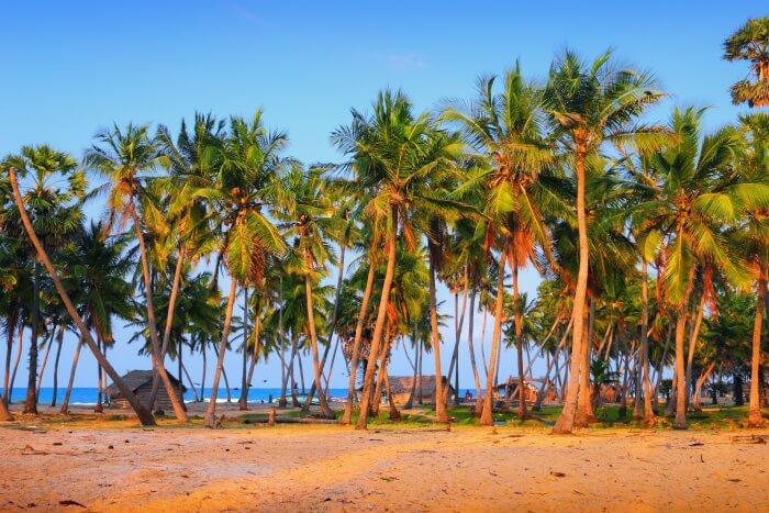 Palm trees in Mannar