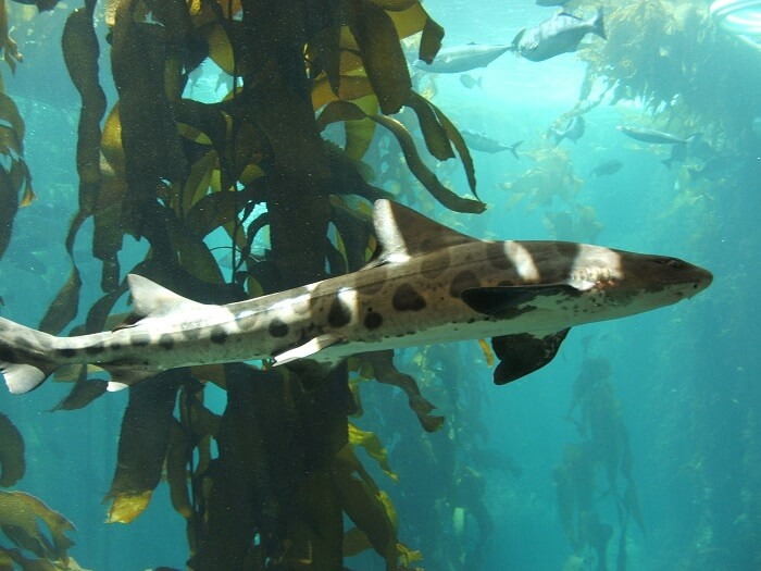 leopard shark phi phi don