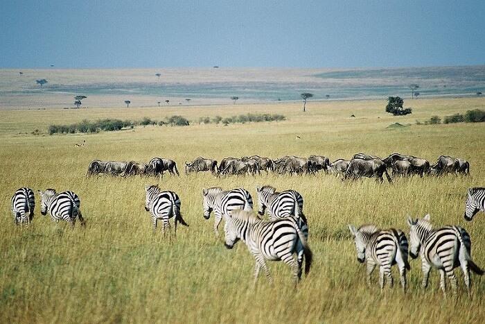beautiful zebras walking in the grass