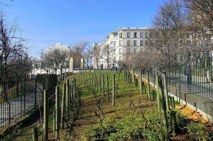 Clos De Belleville vineyard near paris pfrance