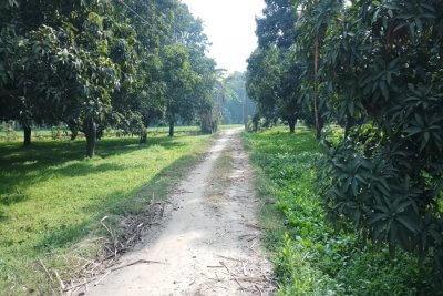 Mango trees in a Nain Kheri