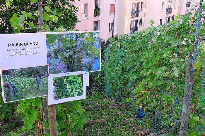 Vigne De La Butte Bergeyre vineyard near paris pfrance
