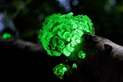 mycena genus fungi